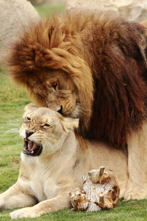 two beautiful lions making love photo