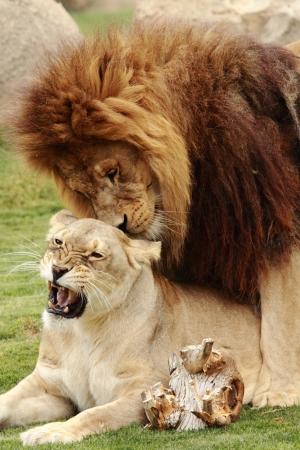 사랑을 나누는 두 아름 다운 사자