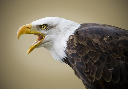 Picture of a beautiful bald eagle isolated on a brown background