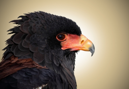 Portrait of a beautiful african eagle Stock Photo