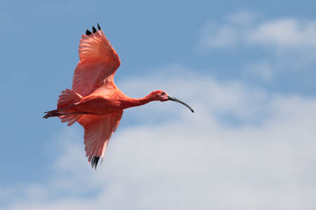 a beautiful scarlet ibis flying in the sky photo