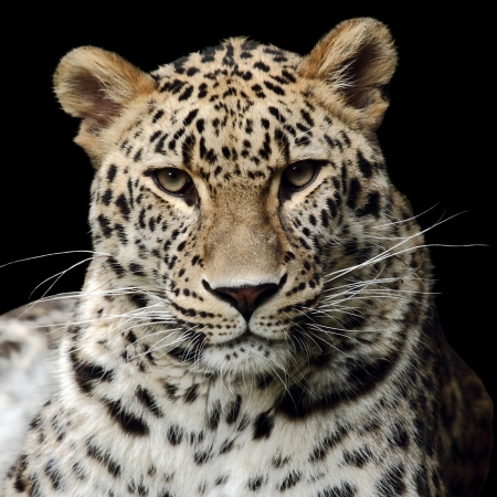a beautiful leopard isolated on black