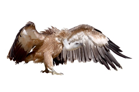 a griffon vulture isolated on a white background
