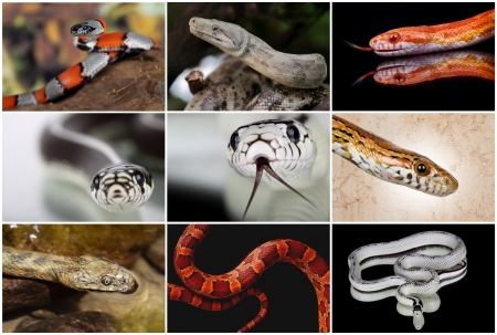 a collage with some snakes non venomous Stock Photo