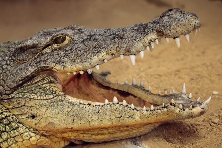 a great nile crocodile with open jaws Banco de Imagens