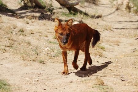 オーストラリアの野生の犬の写真ディンゴ