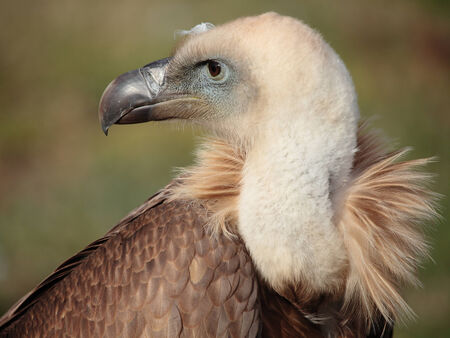 portrait of a fantastic griffon vulture  photo