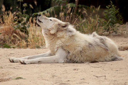 a wild wolf lying on the floor howling
