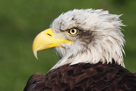 american eagle: picture of a beautiful and wild bald eagle