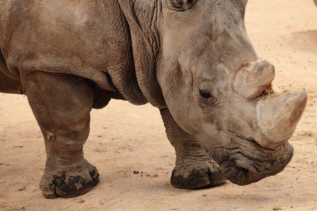 grazer: portrait of an african white rhino
