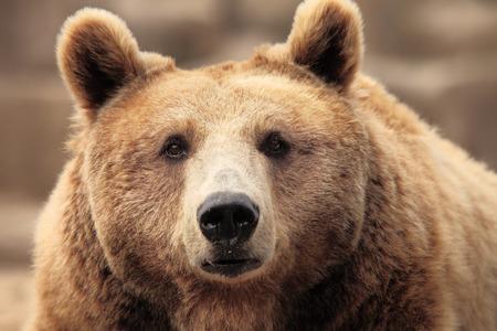 oso: salvaje marr�n oso de descanso Foto de archivo