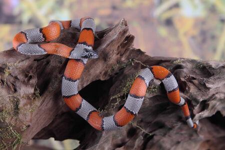 falso: imagen de una serpiente coral falsa
