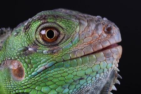 animal limb: A great and beautiful green iguana