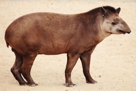 a rare and exotic mammal, a tapir