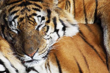 tigresa: retrato de un tigre siberiano que pone en un campo de hierba alta Foto de archivo
