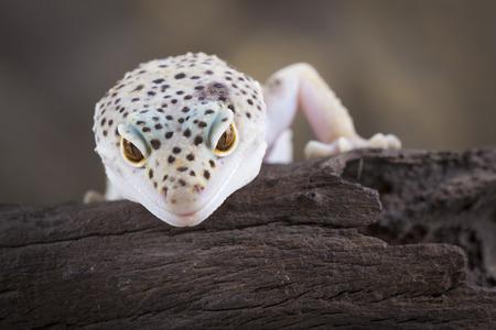saurian: a picture of a fantastic leopard gecko