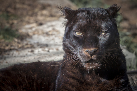 black panther: portrait of a beautiful black panther