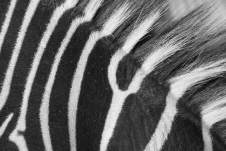 herbivore natural: detail of the skin of an african zebra Stock Photo