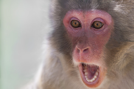 wild hair: Picture of the face of a monkey with a surprise expression Stock Photo