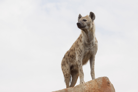 an african spotted hyena