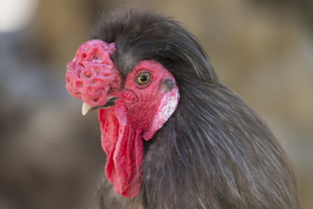 domesticated: Portrait of a domesticated rooster