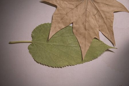 dirty sheet: Two tree leafs over a dirty paper sheet