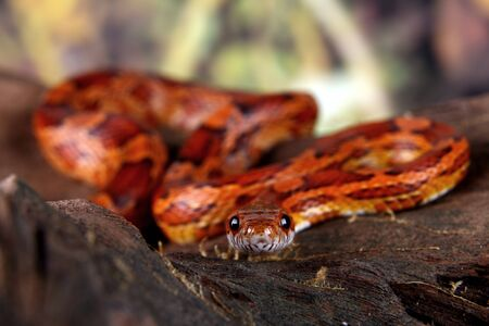 herpetology: a picture of a beautiful corn snake