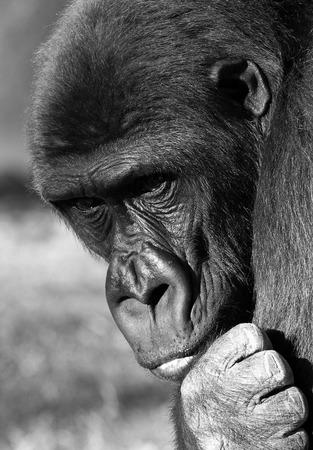 primate: A gorilla, a great primate