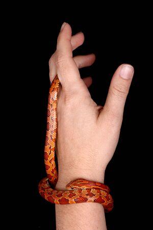 harmless: a harmless corn snake on a human hand