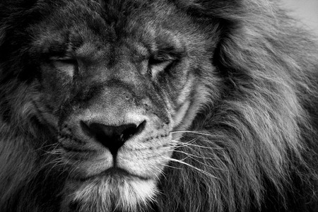 fearsome: portrait of a beautiful lion in black and white Stock Photo