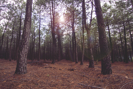 long way: Long way in empty forest. Sunbeam lighting through crowns of trees.