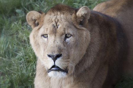 lioness: Close-up of lioness on grass