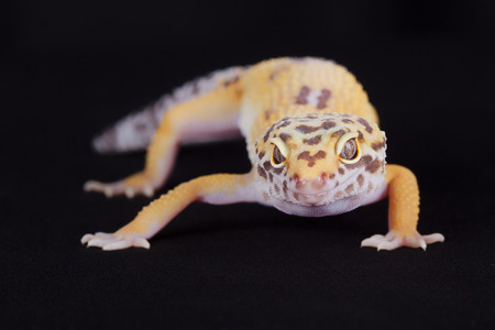 coldblooded: Close-up of yellow leopard gecko on black background