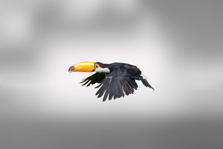 Beautiful toucan flying with a grey background