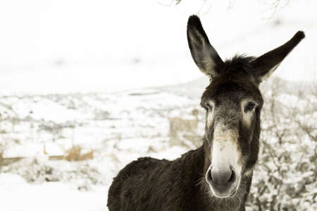 Donkey in the middle of the field one day with lots of snow in Villafranca de la Sierra, in the Sierra de Gredos, which is in the province of Avila.Photo taken on the day of Andalucia, February 28. Stock Photo