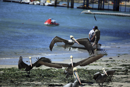 Pelicans on the Coast, Algarrobo, Chile