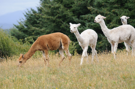 Four llamas in southern of Chile Фото со стока