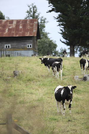 Cows and Barn, south of Chile