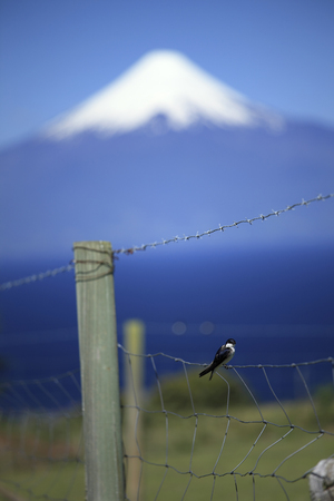 Swallow on fence, Osorno Volcano and Llanquihue Lake Background, Chile