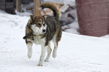 Young husky in the winter