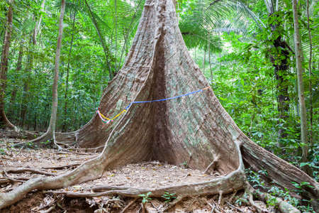 large tree: Giant tree in the tropical rainforest