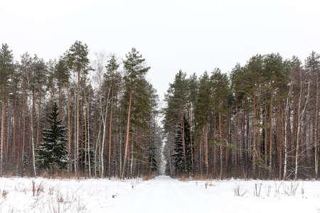 Winter woods, Russia. Stock Photo