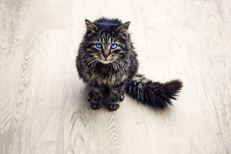 himalayan cat: cat isolated