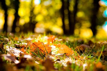 Abstract colorful bokeh, defocused blurred warm sunny autumn mood concept background with dry oak leaves.