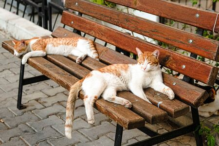 Red and white cute and laid-back stray cats resting on wooden bench. Izmir, Turkey.