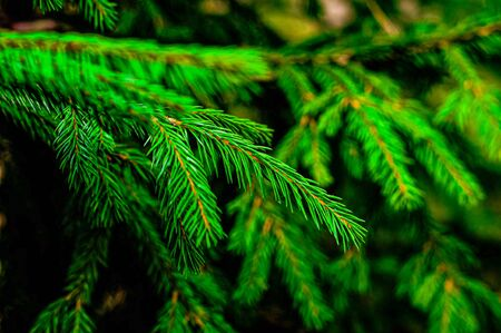 Green Christmas tree background, Natural forest close up.
