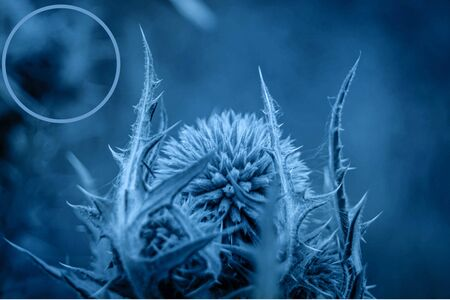 Single Globe Thistle Echinops. Close up of a head of a flower in megical mistic blue colour.