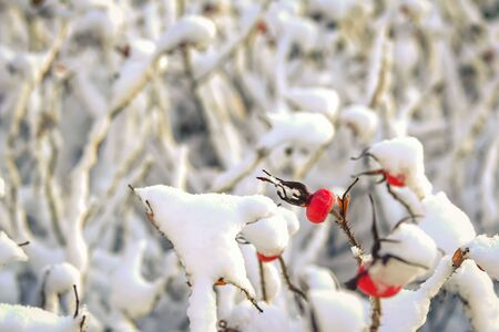 Dry red rosehip berries covered with white fluffy snow.