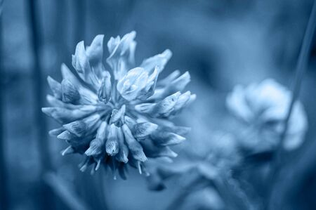 Close-up of blue toned flower. Head of clover in mistic classic blue colour.Color of the year 2020 concept.