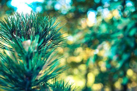 Pine or cedar tree closeup with bokeh background.